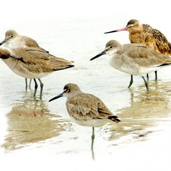marbeled-godwit-willets-002
